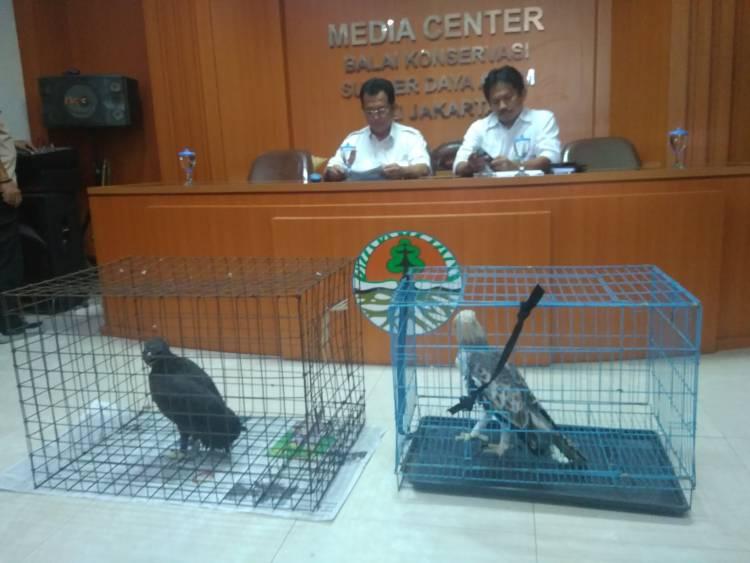 BKSDA Jakarta Lakukan Translokasi 7 Ekor Elang Brontok Yang Dilindungi
