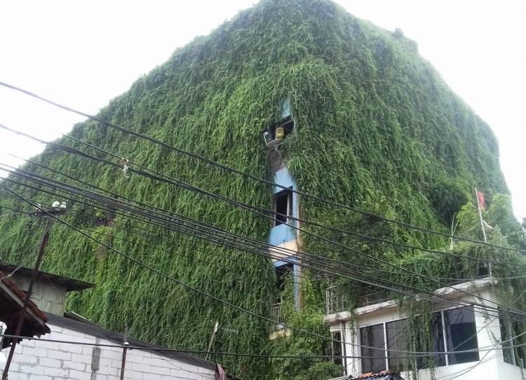 Ulat Bulu Sering Beterbangan, Rumah Pohon Dikeluhkan Warga Tambora