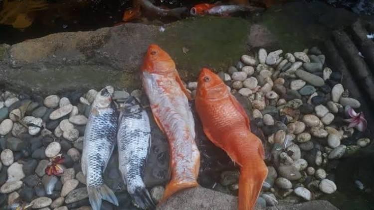 Ikan Koi Mati PLN Digugat