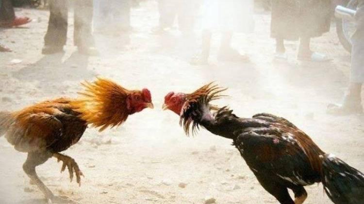 Begini Hukum Sabung Ayam dan Hewan Aduan Lainnya